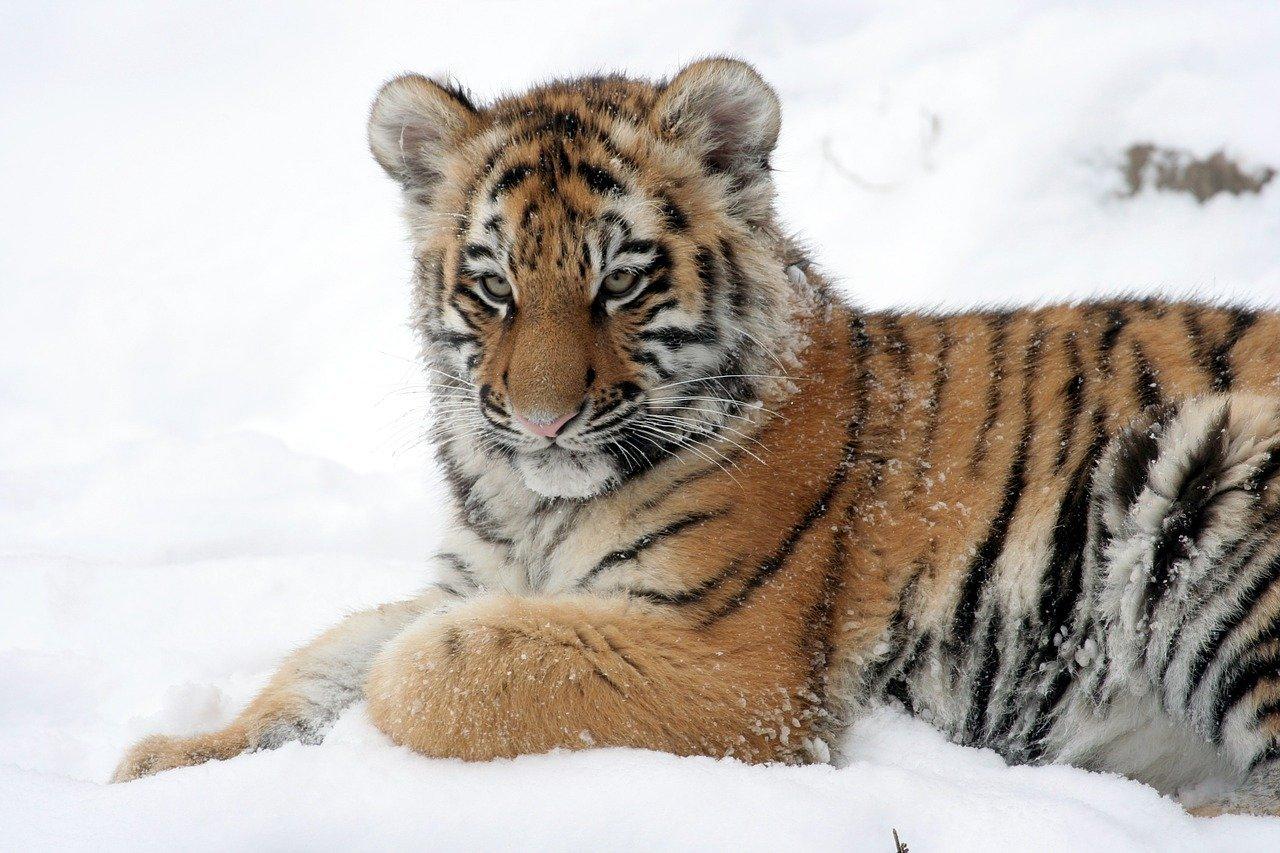 Браконьеры застрелили тигра Павлика